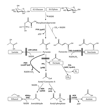 Modified bacteria for the production of bioalcohol