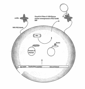 Cell surface display, screening and production of proteins of interest