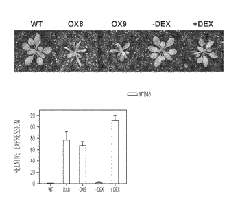 Control of cellulose biosynthesis by overexpression of a transcription factor