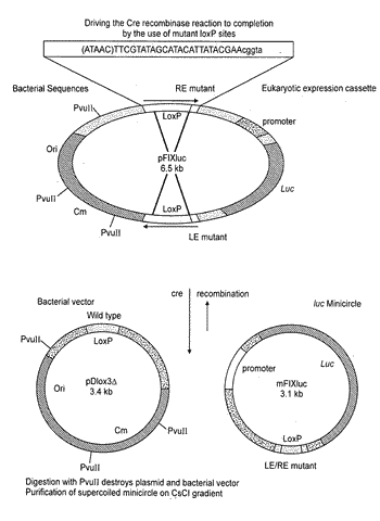Methods of producing recombinant minicircle constructs