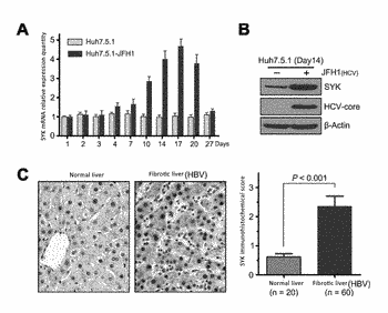 Application of syk serving as therapeutic target for hepatic fibrosis/hepatic cirrhosis