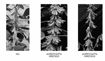Compositions and methods for altering flowering and plant architecture to improve yield potential