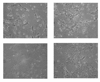 Induction of hepatocytes by stem cell differentiation with rna