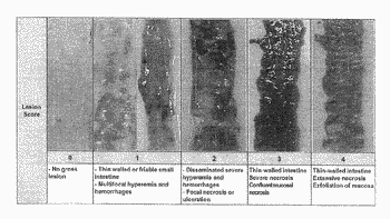 Oxidized carotenoids and components thereof for preventing necrotic enteritis