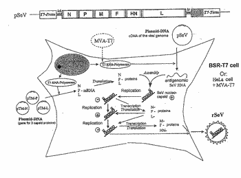 Replication-deficient rna viruses as vaccines